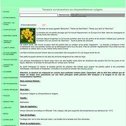 Tanaisie ou tanacetum vulgare ou chrysanthemum vugare