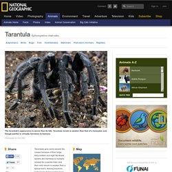 Tarantulas, Tarantula Pictures, Tarantula Facts - National Geographic