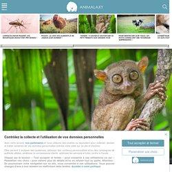 Tarsier : 5 choses à savoir sur ce petit primate aux grands yeux