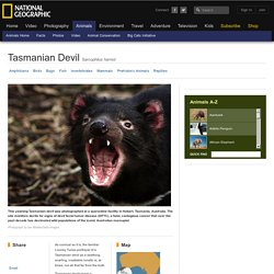 Tasmanian Devils, Tasmanian Devil Pictures, Tasmanian Devil Facts