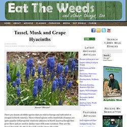 Tassel, Musk and Grape Hyacinths