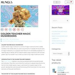 GOLDEN TEACHER MAGIC MUSHROOMS - Mungus Shrooms
