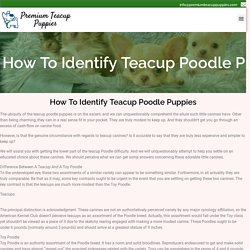 How To Identify Teacup Poodle Puppies