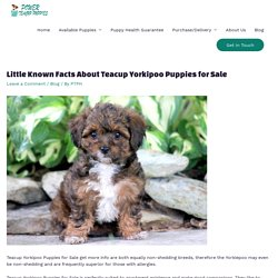 Teacup Yorkipoo Puppies for Sale