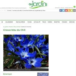 Crocus bleu du Chili, Tecophilaea cyanocrocus : planter, cultiver