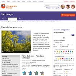 Pastel des teinturiers: planter et cultiver Isatis tinctoria