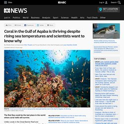 Coral in the Gulf of Aqaba is thriving despite rising sea temperatures and scientists want to know why