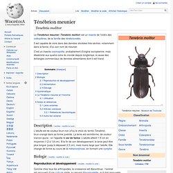 WIKIPEDIA – Tenebrio molitor.