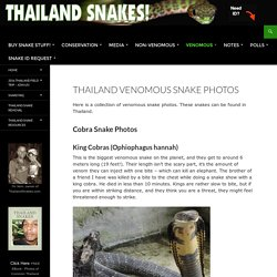 Thailand Venomous Snake Photos - Thailand Snakes
