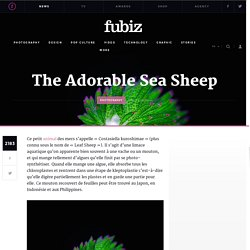 The Adorable Sea Sheep – Fubiz Media