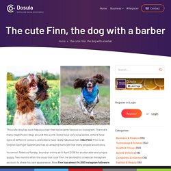 The cute Finn, the dog with a barber
