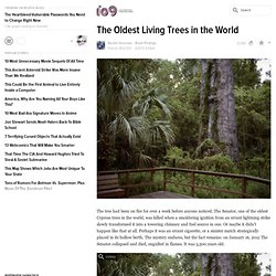 The Oldest Living Trees in the World