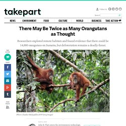 There May Be Twice as Many Orangutans as Thought