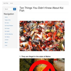 Ten Things You Didn't Know About Koi Fish