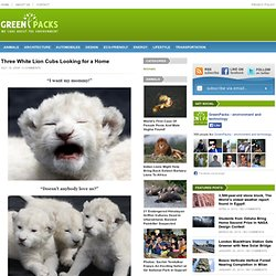 Three White Lion Cubs Looking for a Home