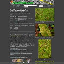 Thuidium delicatulum (Delicate Fern Moss)
