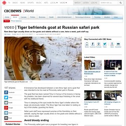 Tiger befriends goat at Russian safari park
