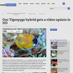 Our Tigerpyge hybrid gets a video update in HD