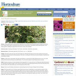 Tom Thumb Cotoneaster - HorticultureHorticulture