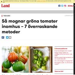 Så mognar du gröna tomater inomhus - överraskande metoder