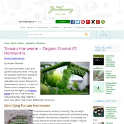 Tomato Hornworms: How To Get Rid Of Tomato Caterpillars