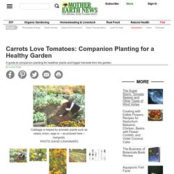 Carrots Love Tomatoes: Companion Planting for a Healthy Garden - Organic Gardening