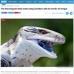 The blue-tongued skink scares away predators with its horrific UV tongue