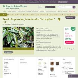 variegated Confederate jasmine/RHS Gardening