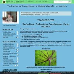 TRACHEOPHYTA