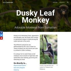 Dusky Leaf Monkey (Trachypithecus obscurus)