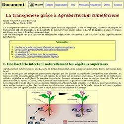 transgénèse par agrobactérium