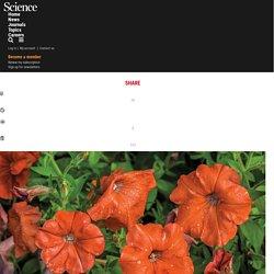 SCIENCEMAG 24/05/17 How the transgenic petunia carnage of 2017 began