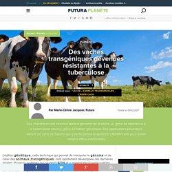 Des vaches transgéniques devenues résistantes à la tuberculose