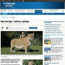 Meet the liger - half lion, half tiger
