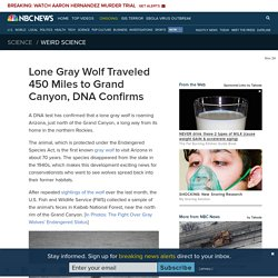 Lone Gray Wolf Traveled 450 Miles to Grand Canyon, DNA Confirms