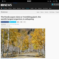 The Pando aspen clone or 'trembling giant', the world's largest organism, is collapsing - Science News - ABC News