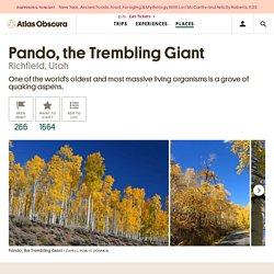 Pando, the Trembling Giant – Richfield, Utah - Atlas Obscura