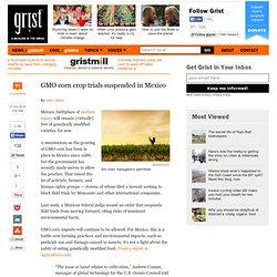 GMO corn crop trials suspended in Mexico