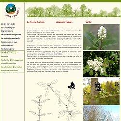 Troène des bois Ligustrum vulgare