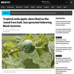 Tropical soda apple, described as the 'weed from hell', has sprouted following Black Summer