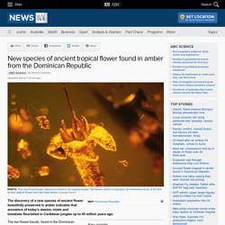 New species of ancient tropical flower found in amber from the Dominican Republic - Science