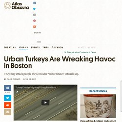 Urban Turkeys Are Wreaking Havoc in Boston - Atlas Obscura