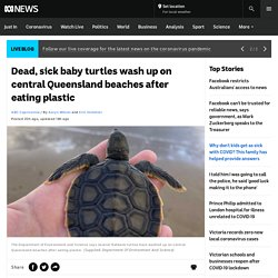 Dead, sick baby turtles wash up on central Queensland beaches after eating plastic