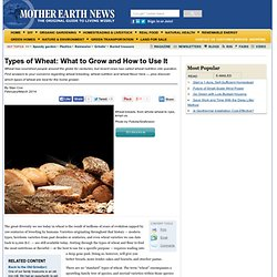 Types of Wheat: What to Grow and How to Use It - Real Food