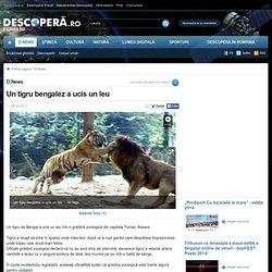 Un tigru bengalez a ucis un leu