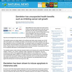 Dandelion has unsuspected health benefits such as inhibiting cancer cell growth