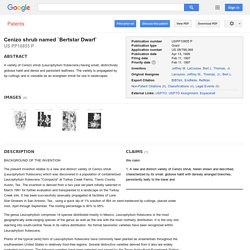 Patent USPP10855 - Cenizo shrub named `Bertstar Dwarf` - Google Patents