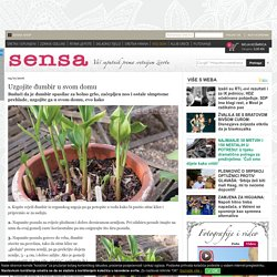 Uzgojite đumbir u svom domu — zeleni savjeti — Sensaklub.hr
