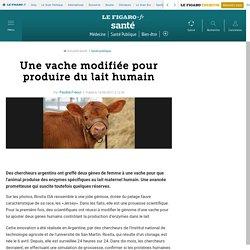 Une vache modifiée pour produire du lait humain