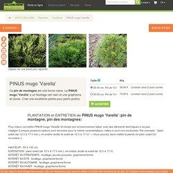 PINUS mugo 'Varella' - pin de montagne - vente en ligne - Vallonchêne